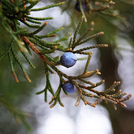 Juniper in the Snow by Rhonda Musgrove - Nature Up Close Trees & Bushes ( winter, tree, juniper, blue, ice, green, snow, bush )