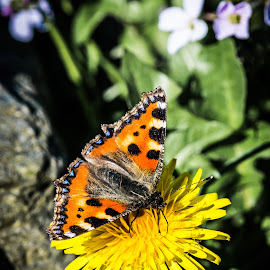 Small Tortoiseshell  by John Mcgarry - Nature Up Close Gardens & Produce