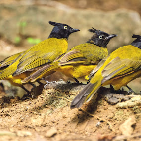 Black Crested Bulbul by Kuppusamy Ramesh - Animals Birds