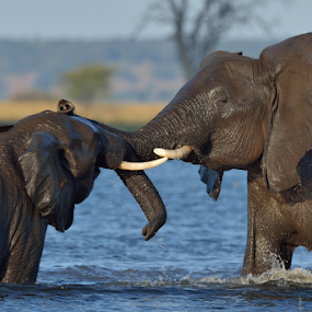 Greeting by Tobie Oosthuizen - Animals Other Mammals ( botswana, chobe national park, trunk, greeting, elephant, tusk )