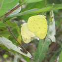 Three-Spot Grass Yellow (Mating)