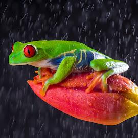 In Rain by Kutub Macro-man - Animals Amphibians ( macro, red eye tree frog, amphibians, close-up, rain, animal )