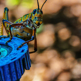 Grasshopper George by Samantha MackeyWilson - Animals Insects & Spiders ( water, sprinkler, colorful, green, grasshopper )