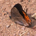 Small Flame-bordered Charaxes