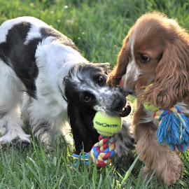 by Julie Granger - Animals - Dogs Playing (  )
