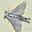 Wood Leopard Moth