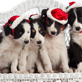 by Pat Young - Animals - Dogs Portraits ( border collies, christmas )