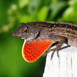 Orange polka dot by Ivy Luna - Animals Reptiles ( #orange, #animals, #lizard, #iguana, #reptiles,  )