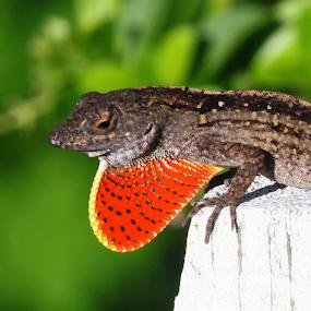 Orange polka dot by Ivy Luna - Animals Reptiles ( #orange, #animals, #lizard, #iguana, #reptiles,  )
