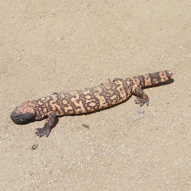 Gila Monster by Donna Probasco - Novices Only Wildlife (  )
