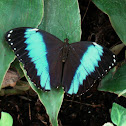 Common Morpho (female)