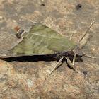 Nephele Hawk Moth