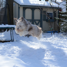 Snow Fun! by Francesca Salerno - Animals - Dogs Running ( playing, flying, puppies, winter, jumping, pet, snow, puppy, dog, running )