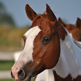 Judy's High Card, APHA  by Jordy O'Connor - Animals Horses ( mare, equine, canada, horse, photography )