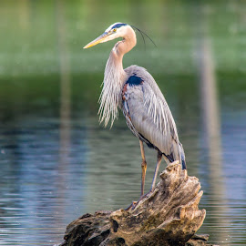 Great Blue Heron by Jennifer McWhirt - Animals Birds ( old hickory lake, animals, photographybyjenmcwhirt.com, blue heron, hendersonville, tennessee, birds,  )