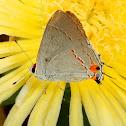 Grey Haistreak Butterfly