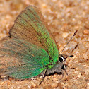 Green hairstreak, Cejialba