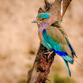Indian Roller by Sanjeev Goyal - Animals Birds ( get, set, run, and, go )