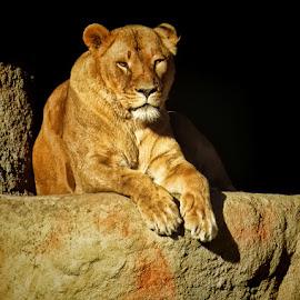 lavica by Dunja Kolar - Animals Lions, Tigers & Big Cats ( zoo, lavica, croatia, zagreb )