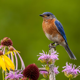 Eastern bluebird by Tom Samuelson - Animals Birds