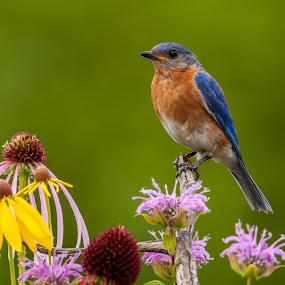Eastern bluebird by Tom Samuelson - Animals Birds