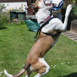 Oh what big teeth you've got by John Swain - Animals - Dogs Playing ( dog playing ball catching jumping )