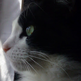 focused by Lesley Casto - Animals - Cats Portraits ( cat, sweet, facial, focused, tuxedo cat )