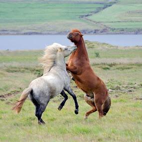 by Oddsteinn Björnsson - Animals Horses ( hestar,  )