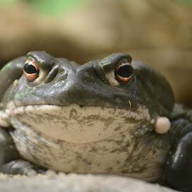 Colorado River Toad by Robert Briggs - Animals Amphibians ( colorado river toad, amphibian, river toad, toad, deadly, poisonious )