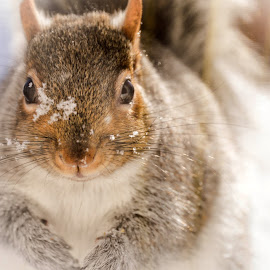 Squirrel Close-Up by Colleen Crotty-Bruso - Animals Other Mammals ( animals, winter, snow, animal,  )