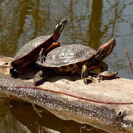 by Helen Bagley - Animals Reptiles ( water, nature, logs, streams, turtles )