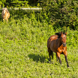 Running by Diane Plevelich - Animals Horses