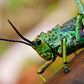 Grasshopper by Marthinus Strydom - Animals Insects & Spiders ( grasshopper )