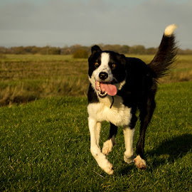 Run Forest Run by Stuart Laverick - Animals - Dogs Running ( pet photography, border collie, pet, mans best friend, dog portrait )