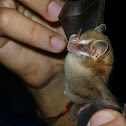 Striped Yellow-eared Bat