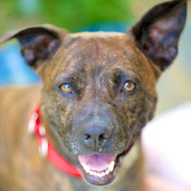 Pearl...waiting for a home. by Martha Pope - Animals - Dogs Portraits ( shelter, pitbull, brindle, adopt, rescue, dog )