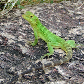 Young Spiny-Tailed Iguana by Dawn Hoehn Hagler - Animals Reptiles ( spiny-tailed iguana, desert museum, lizard, green, iguana, reptile )