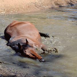 by Silke Jordaan - Novices Only Pets ( water, natural light, splash, horse, play, summer, brown,  )