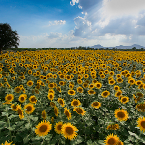 Indian Summer by Ajay Sood - Landscapes Prairies, Meadows & Fields ( pwcsummer, sunflowers, summer, india, photo images from india, yellow, travelure, landscape, pwcflowergarden-dq, fields )