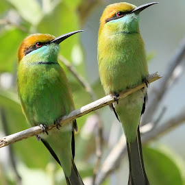 Green Bee-eaters by S Balaji - Animals Birds ( wild, s.balaji, animals, style, nature, green bee-eaters, birds,  )
