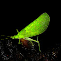 Angled Leaf Katydid