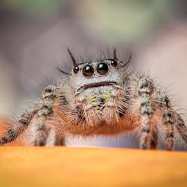 Otiosus by Sam Donato - Animals Insects & Spiders ( hairy, macro, jumping, legs, spider, phidippus, bokeh, otiosus )