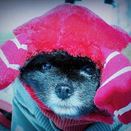 Tiny Reindeer by Sue Delia - Animals - Dogs Portraits ( dog, pomeranian,  )