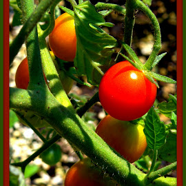 Cherry Tomato's by Wendy Thorson - Nature Up Close Gardens & Produce