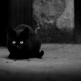 Eyes that matter by Ines Raycheva - Animals - Cats Portraits ( cat, kitten, black and white portait, black and white, sony alpha, ines raycheva, black cat, portrait, eyes, black and white cat, kitty cat, cat eyes, cat portrait, bulgaria,  )