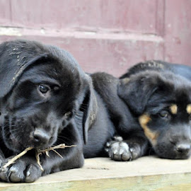 Bella and Tank by Cole Tittle - Animals - Dogs Puppies
