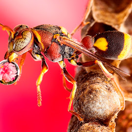 Wasp Blowing Water Ball 150128A by Carrot Lim - Animals Insects & Spiders