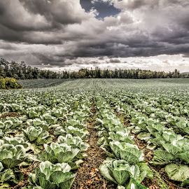 A Foreboding Stroll Through the Cabbages by Jake Egbert - Landscapes Prairies, Meadows & Fields ( contrast, field, oregon, cabbage, 2014, agriculture, weather, lines, columbia river gorge, landscape, rain )