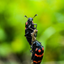 bugs in romance  by Amithabh Uday - Animals Insects & Spiders ( nature, bugs, beauty, insects, romance )