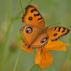 """Butterflies are self propelled flowers.""  by Chobi Wala - Animals Other ( #nature, #butterfly,  )"